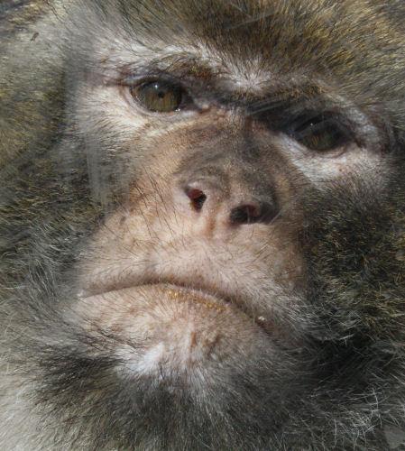 Nachdenkliches Gesicht eines Affen (Grass nicht unähnlich)